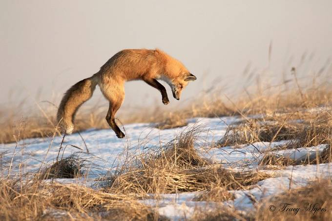 Red Fox 24 by Tenderfoot - Winter Wildlife Photo Contest