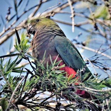 Australian Fauna - Red-Rumped Parrot