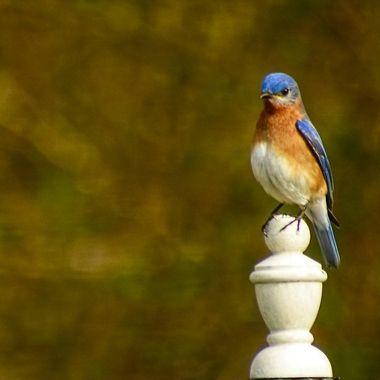 Bluebird Pencil-Edit