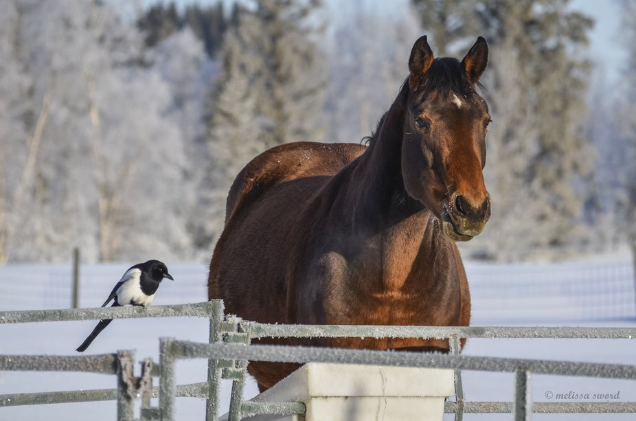 Magpies hang around my horses and pick up any grain that is dropped on the ground or left in the ...