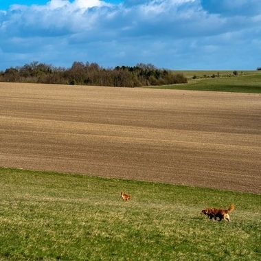 Tollers in the landscape.