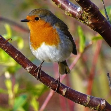 Happy Posing Robin