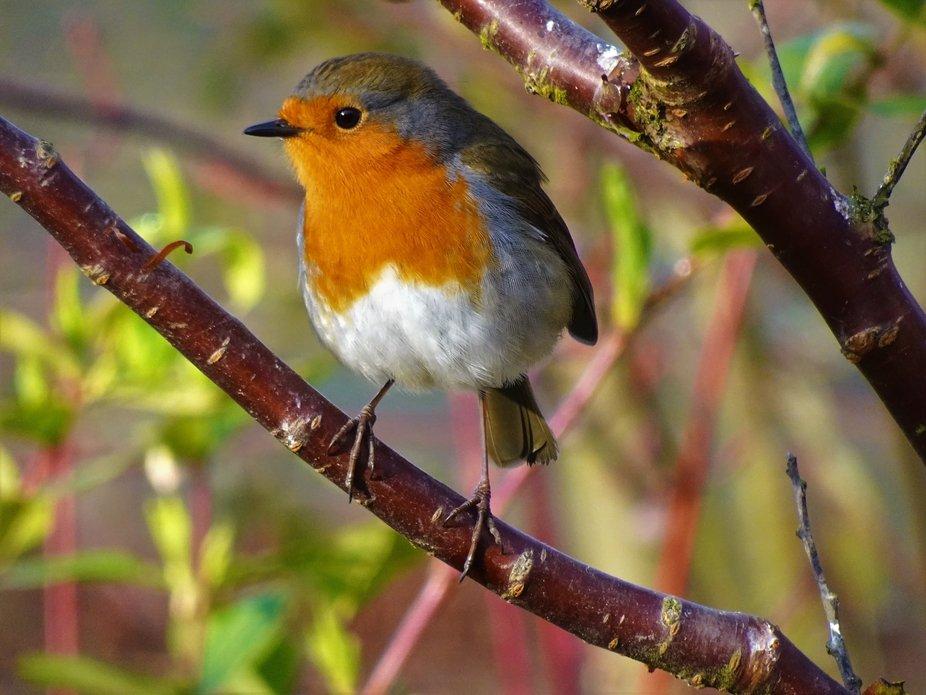 Happy Posing Robin