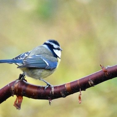Cute Blue Tit happily posing on a branch .