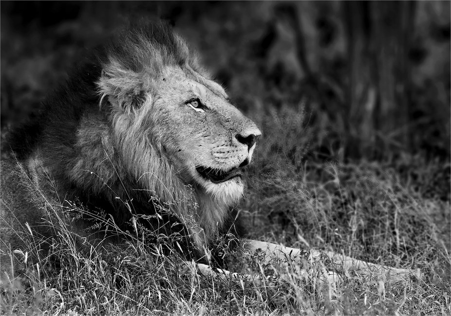 Male lion in black and white