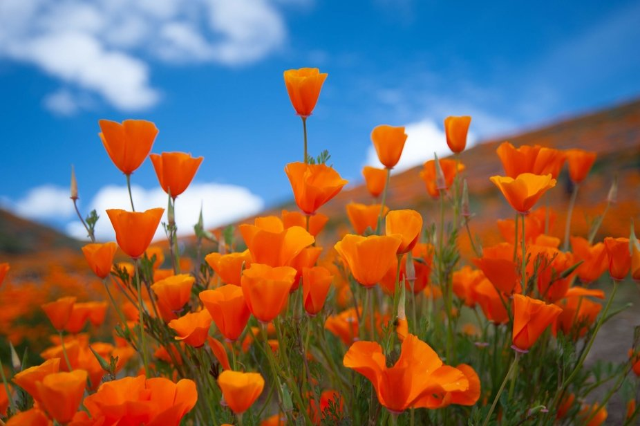 In Southern California, we are in the middle of a Super Bloom!! This was taken at Walker Canyon P...