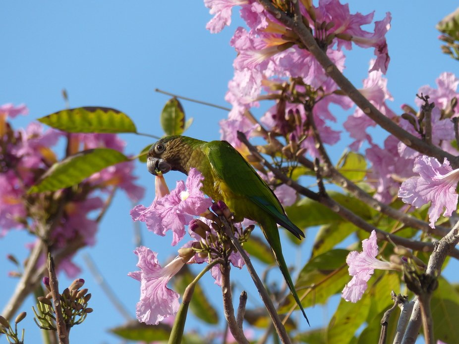 These  Parakeets snip off the tree blossoms and suck out the nectar from the bottom of the flower.