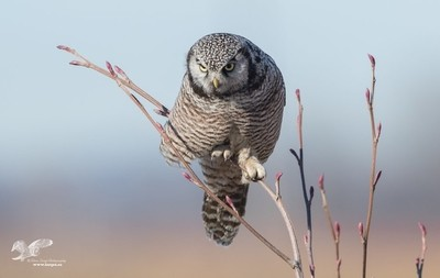 Very Talonted (Northern Hawk Owl)