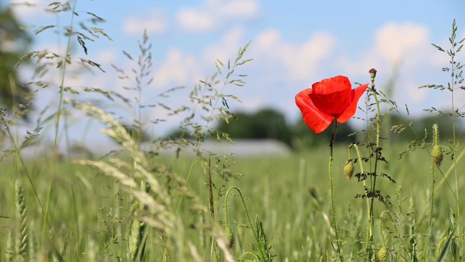 A wild poppy seen in a field in Herry, France, just west of the Loire River.