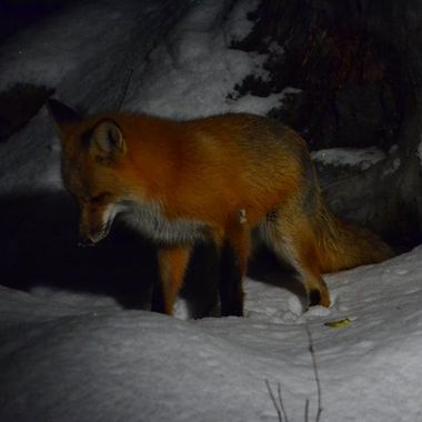 Foxy following a mouse under the snow.