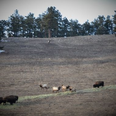Buffalo and Elk
