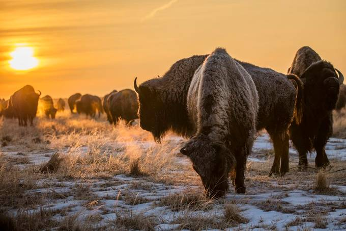 Timeless Bison by ryankostphotography - Winter Wildlife Photo Contest