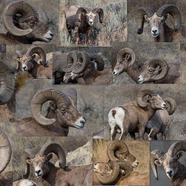 California Bighorn Rams
