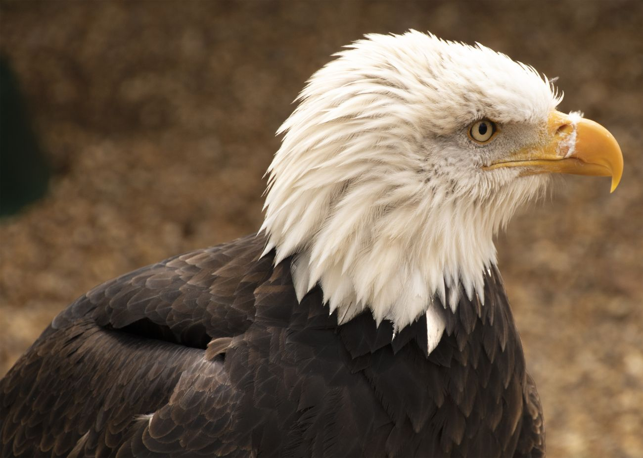 Bald eagles are not a native of the UK. I met this one at Andover Hawk Conservancy in the south of England.