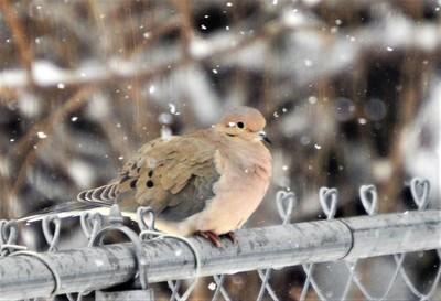 Snowy Dove