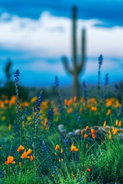 Arizona Picacho Peak Wild Flowers