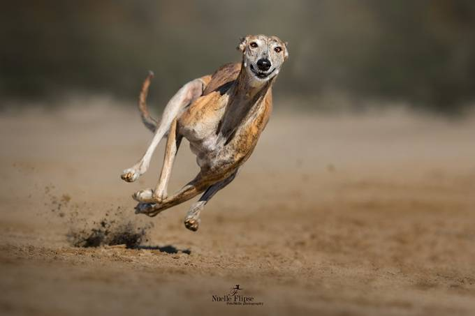 When you run, you smile! by nuelleflipse - Dogs In Action Photo Contest