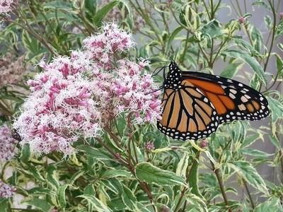 Monarch on a marsh flower