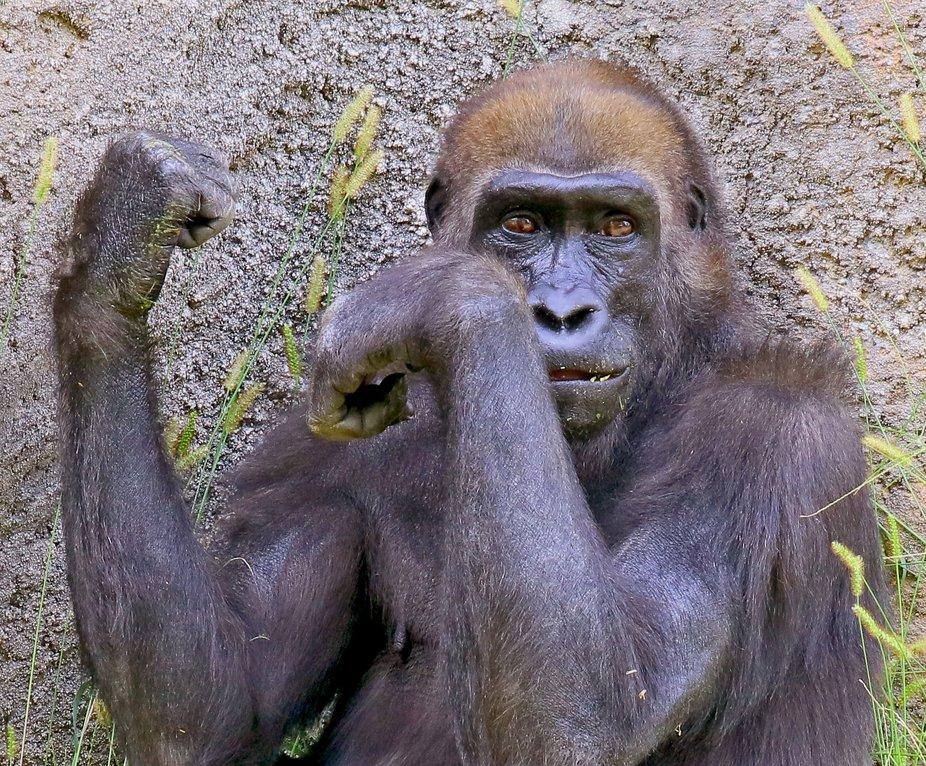 I Am An Ape