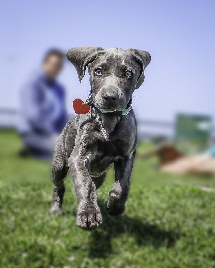 Weimy Puppy by TrudyGardnerPhotography - Dogs In Action Photo Contest