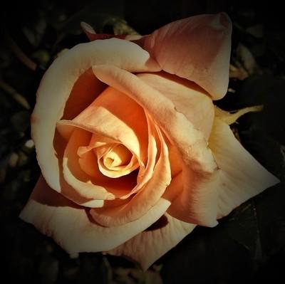 orange_rose