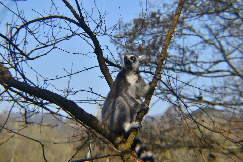 The Lemurs were out for a run amongst the trees when I saw them at Paignton Zoo.