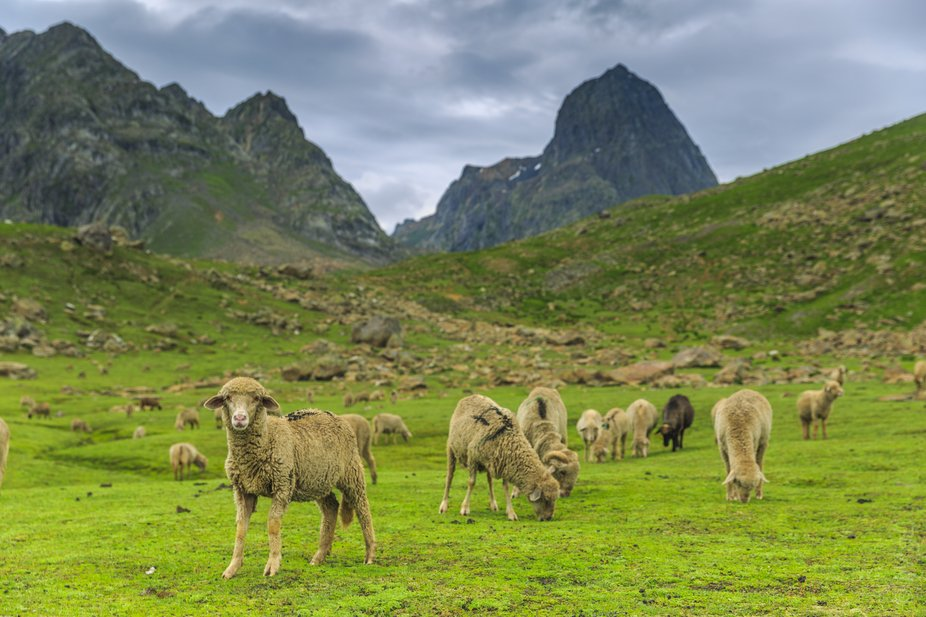 innocent sheep in the lap of natural fram of greenery and mountains