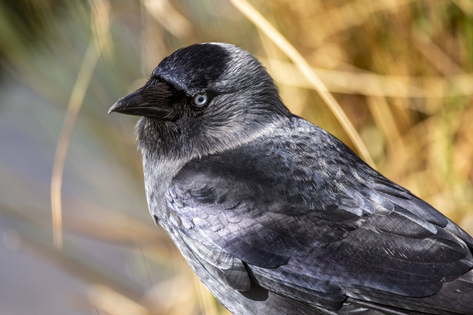 This is a small, black crow with a distinctive silvery sheen to the back of its head. The pale ey...
