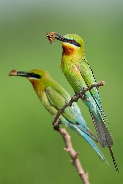 Twinning - blue-tailed bee-eaters