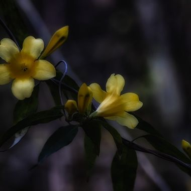 A sure sign that Spring is arriving in the Carolinas is the appearance of Carolina Jasmine.