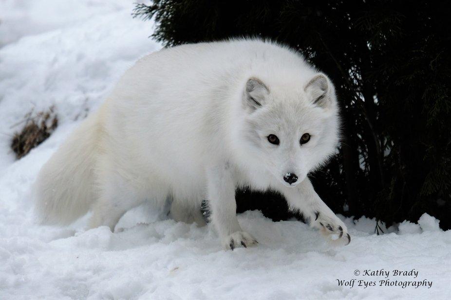 Arctic Fox on the Move