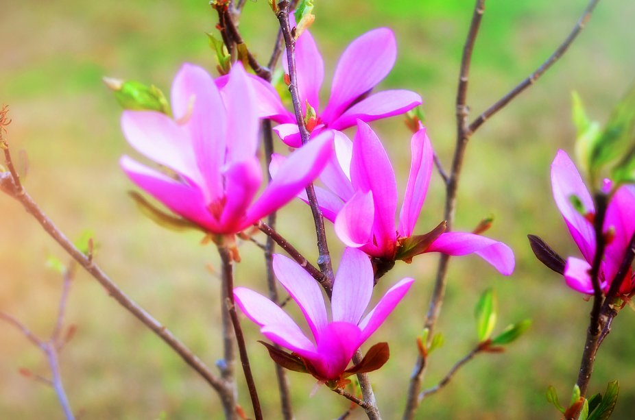 Blooming almost before the leaves bud, this is an early, early Spring beauty!