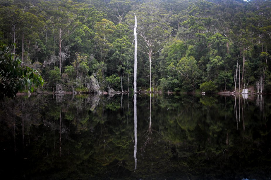 A dead tree reflecting in a rainforest dam.