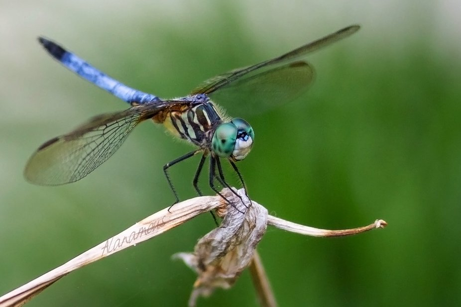An aging female, blue dasher dragonfly perches on a wilted iris stem, smiling a perfect odonata g...