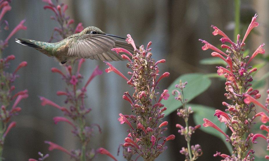 Humming Bird DSC_6722