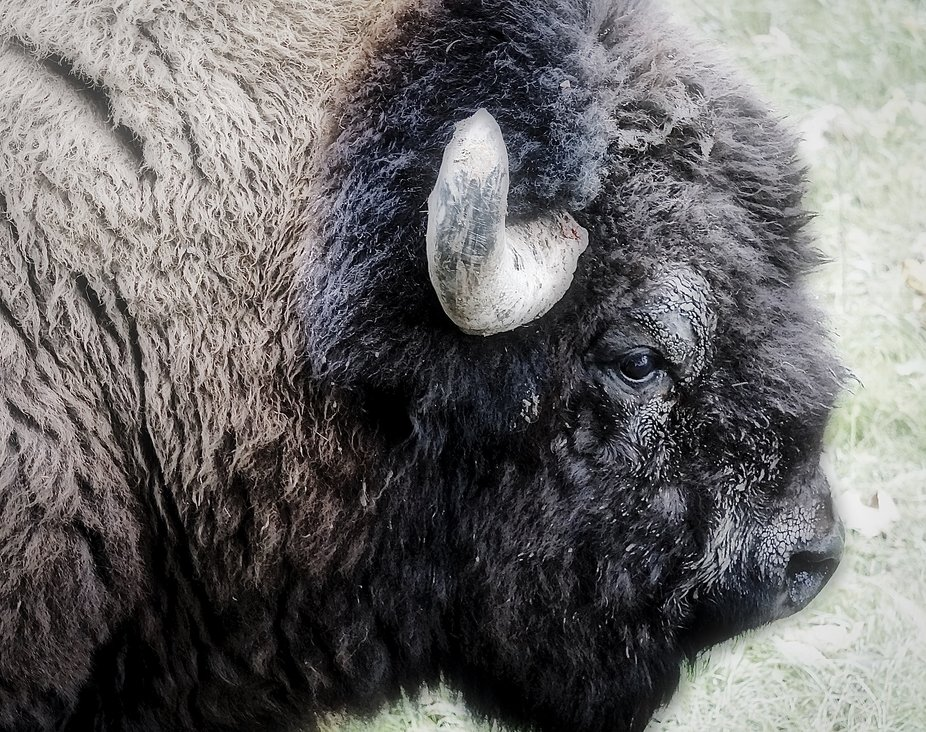 Buddy the Bison