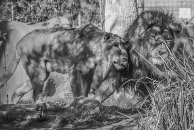 Lions Snuggling B&W