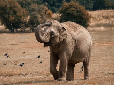 Elephant applies sunscreen