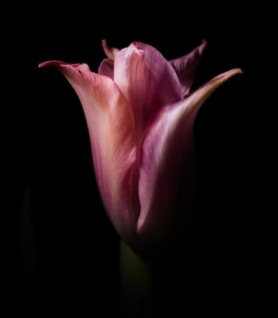 Tulip Shining Through In The Dark