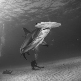 "Edit Photo Details Great Hammerhead shark and diver    A great hammerhead shark dubbed ""Patches"" swoops past a diver at the world famou..."