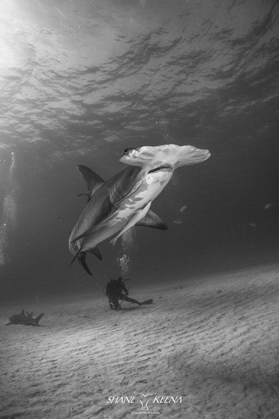 Great Hammerhead shark and diver