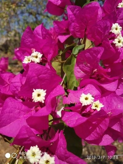 """Roadside blossom -Bowganvillia """"The Garden glory""""."""