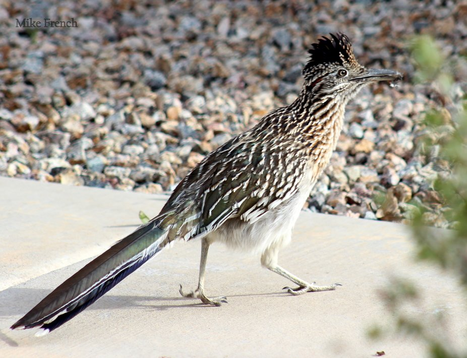 This road runner killed and ate a sparrow in my front yard.  I managed to document most of it.