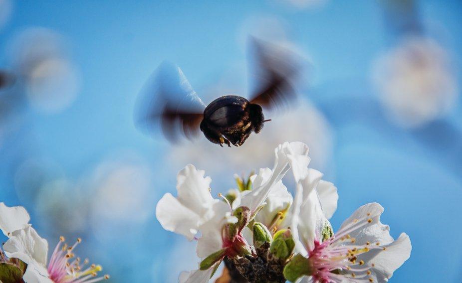 huge bee flying