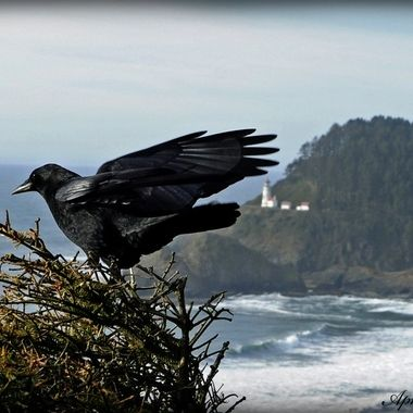Crow at Heceta Head