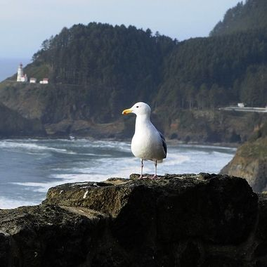 Sea Gull at Heceta Head