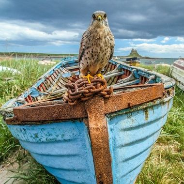 Boat riding kestrel