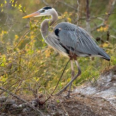 Blue Heron on St George Island