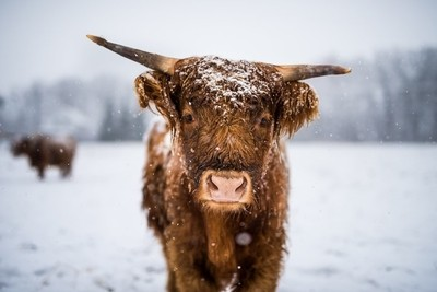 Young Highland