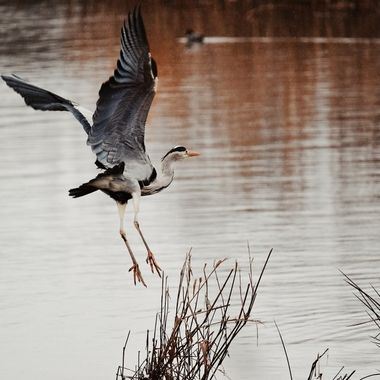 Heron on fly past